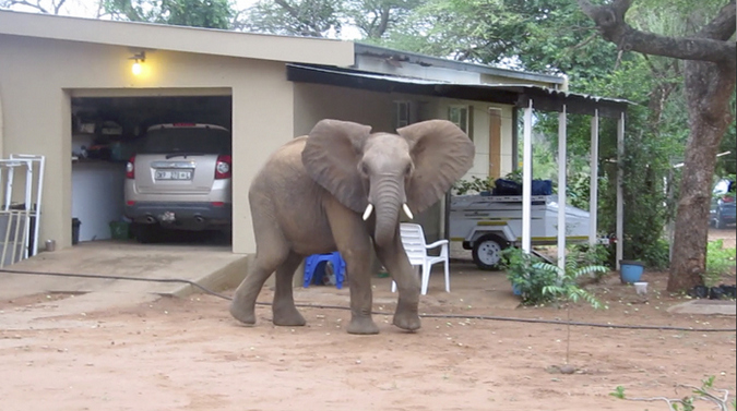 Young elephant displaying in the garden of a Kruger home