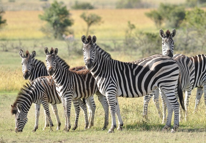 Zebras in a  herd