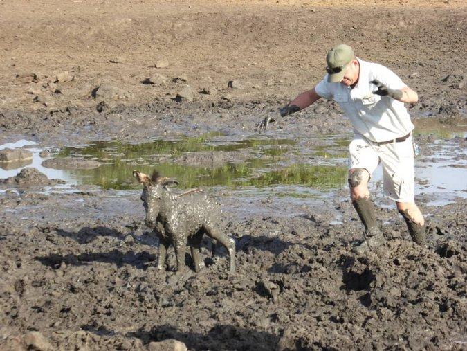Muddy zebra and ranger