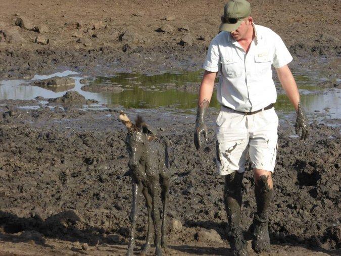 Ranger having rescued zebra foal