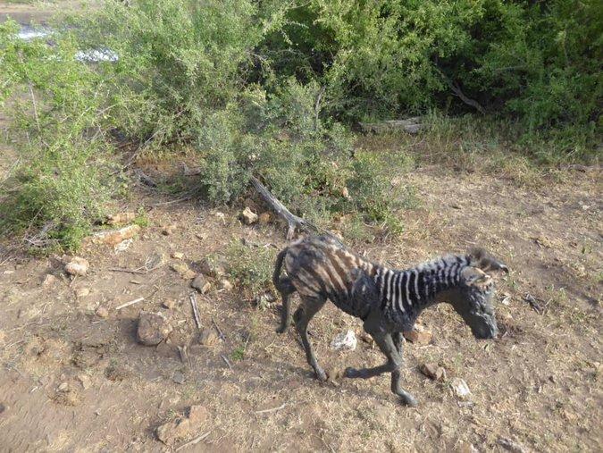 Muddy zebra foal