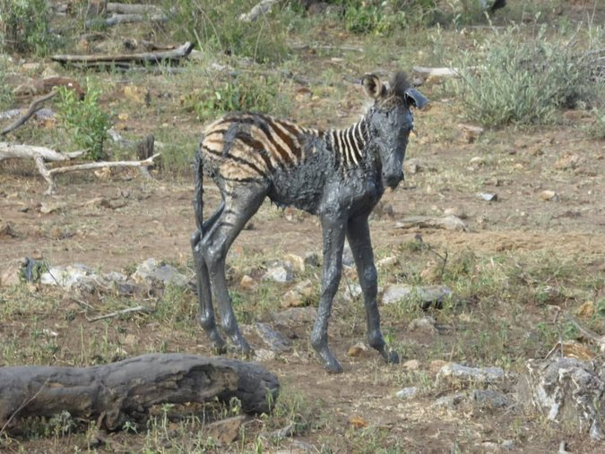 Rescued zebra foal covered in mud