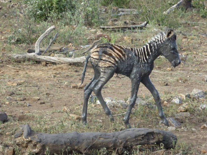 Rescued zebra foal covered in mud walking away