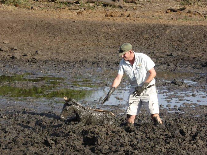 Ranger rescuing zebra foal from mud