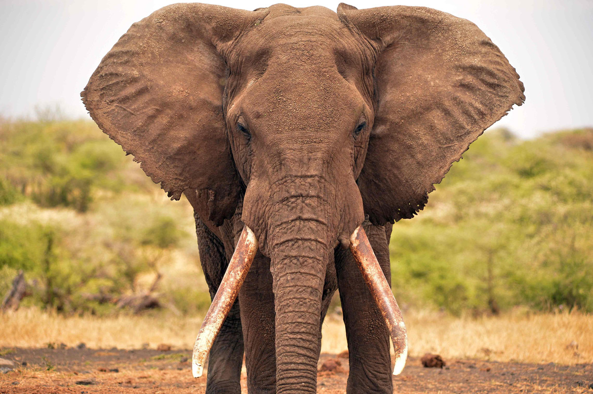 A magnificent elephant in Greater Amboseli Ecosystem, Kenya © Abby Tochterman