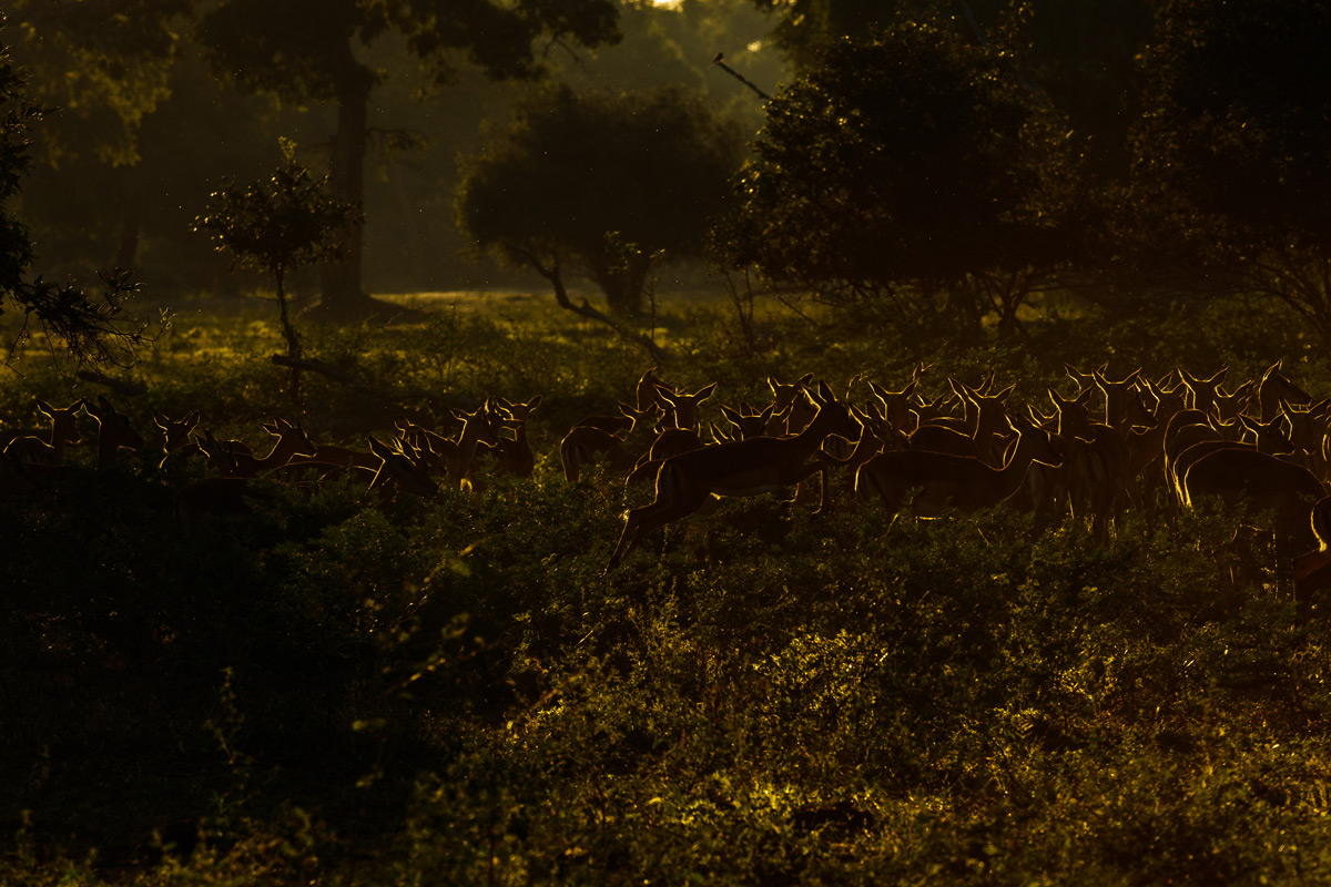 An impala herd in the early morning, Mana Pools National Park, Zimbabwe © Andre Erlich