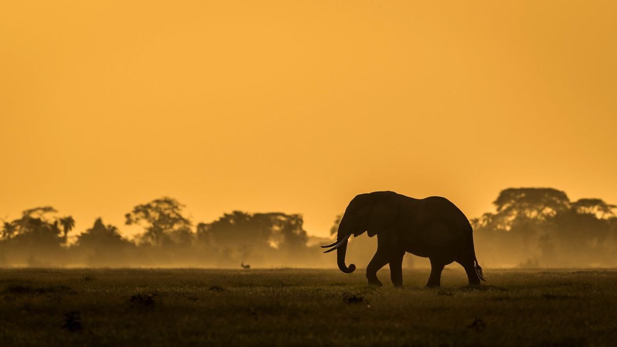 An elephant at dawn in Amboseli National Park, Kenya © Artur Stankiewicz