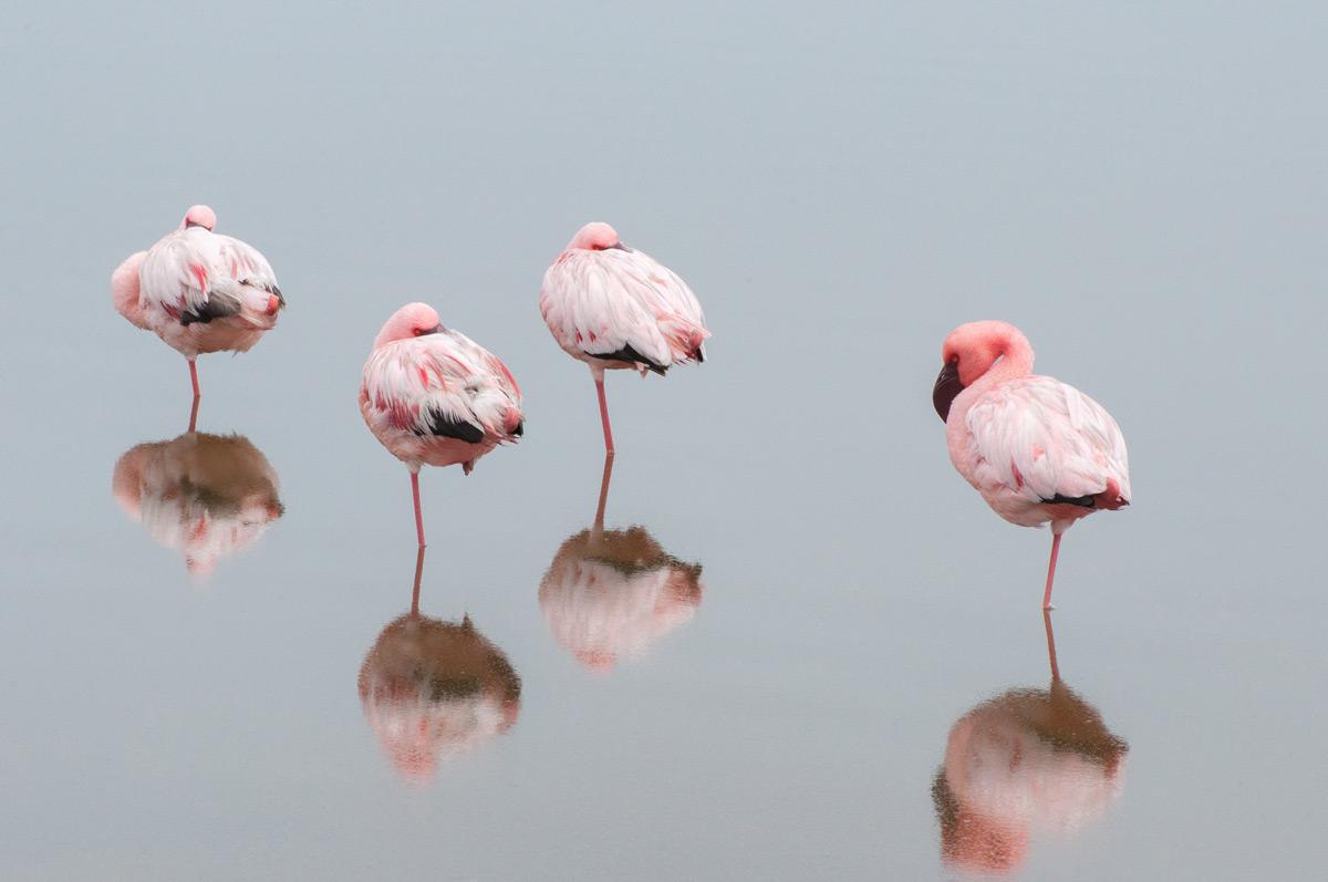 Four flamingos asleep at a lagoon in Walvis Bay, Namibia © Beata Bettaglio Spengenberg