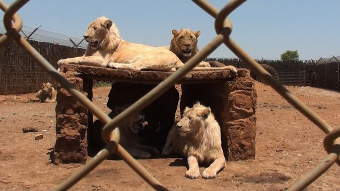 Lions in a captive lion breeding facility