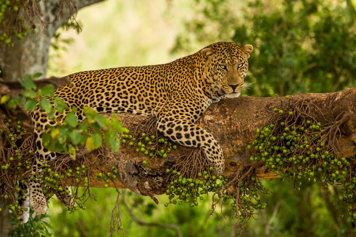 A leopard relaxes up in a tree in Serengeti National Park, Tanzania © Caleb Shepard