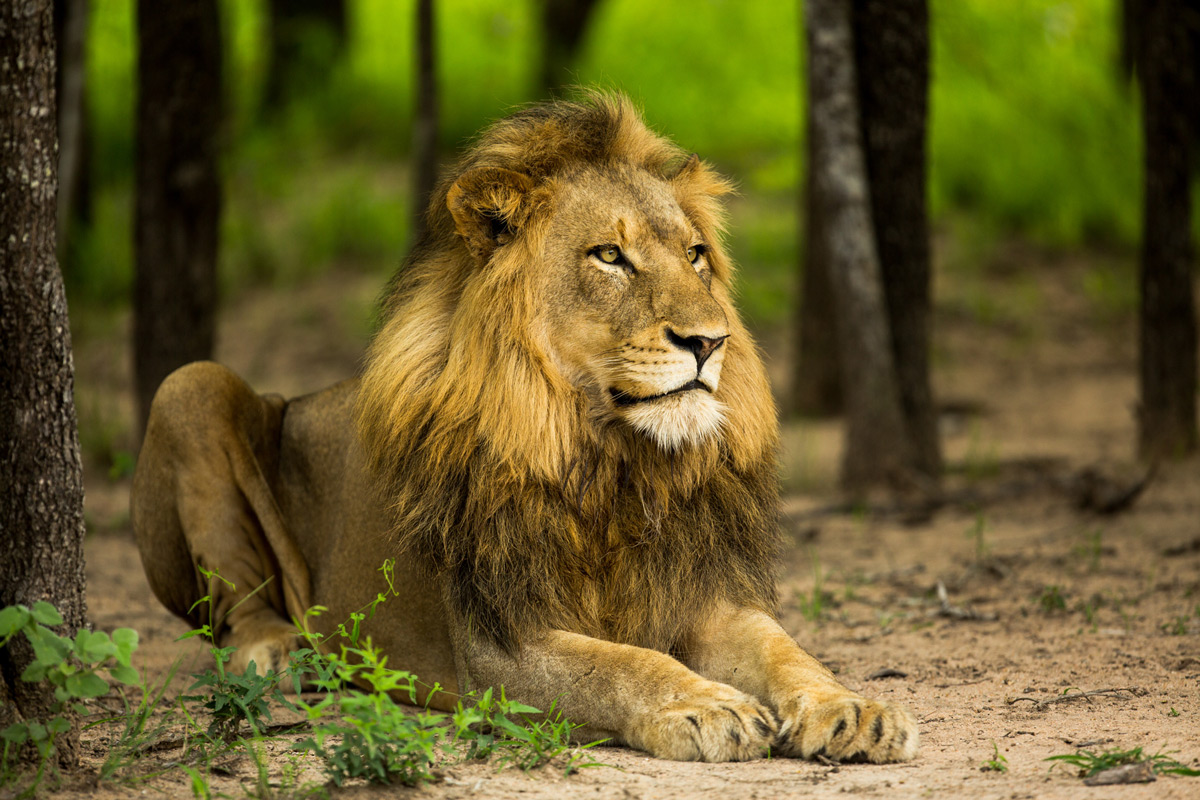 A handsome male lion stares off into the distance, Sabi Sands Private Game Reserve, South Africa © Caleb Shepard