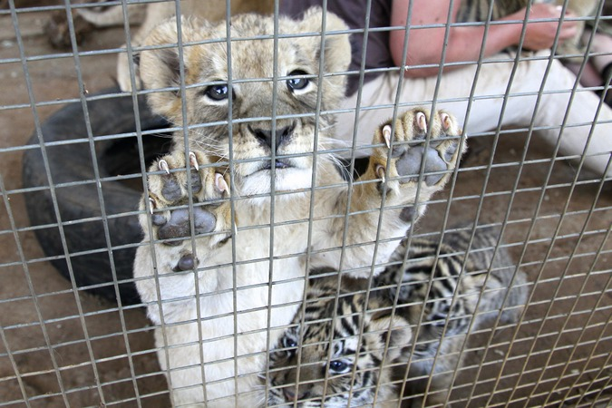 Lion cub in a petting facility