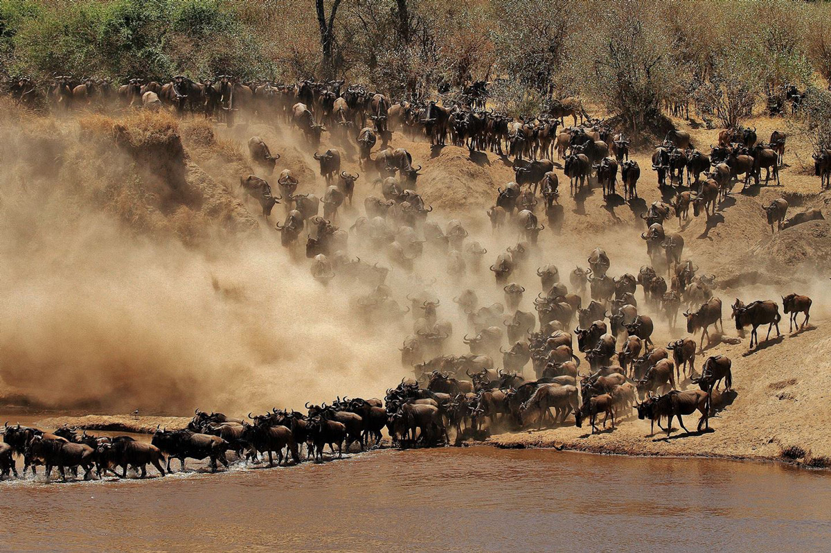 """Organised chaos"" – a large herd of wildebeest cross the Mara River in Serengeti National Park, Tanzania © Darren Colello"