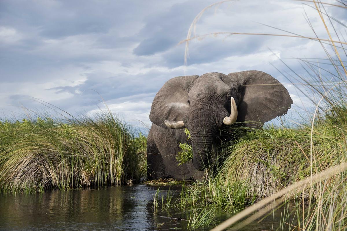 An elephant grazes in the water in the Okavango Delta, Botswana © Darryn Haltmann