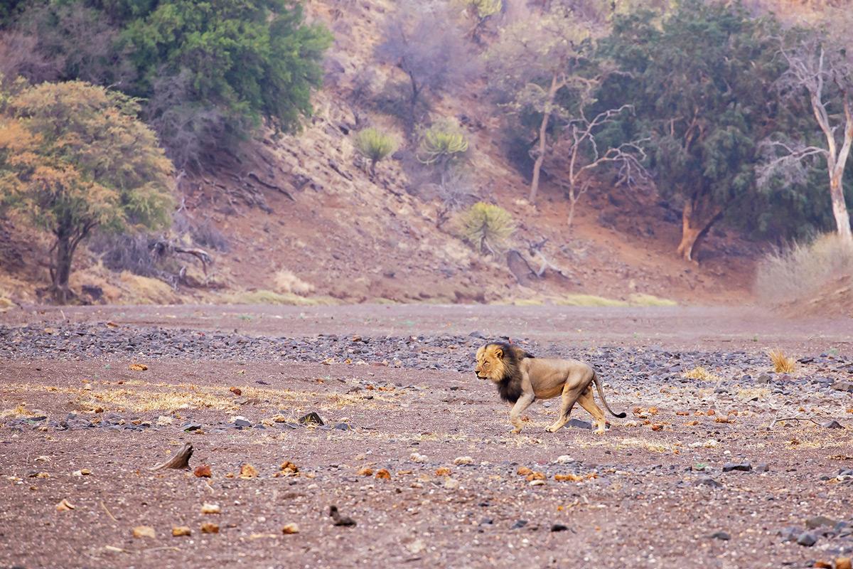 A dominant male lion walks through his territory in Mashatu Game Reserve, Botswana © Deborah Jordan