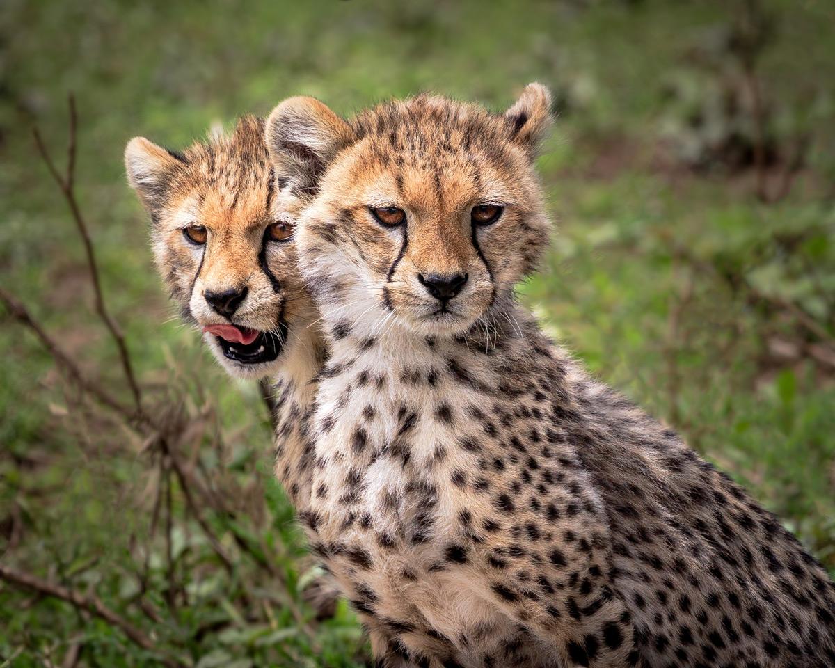 Two cheetah cubs seen in Serengeti National Park, Tanzania © Doreen Lawrence