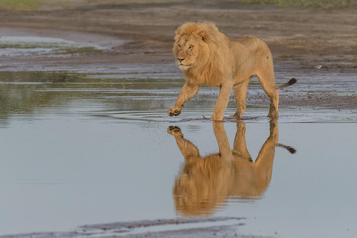 A young male lion crosses Lake Ndutu in Serengeti National Park, Tanzania © Elana Erasmus