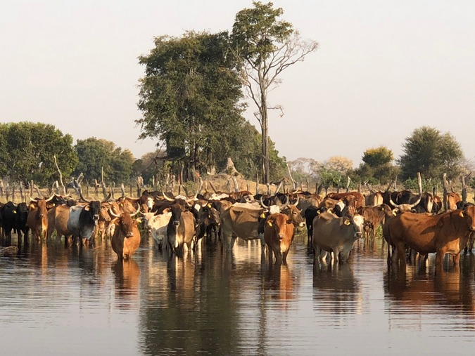 Cattle at a waterhole in Botswana