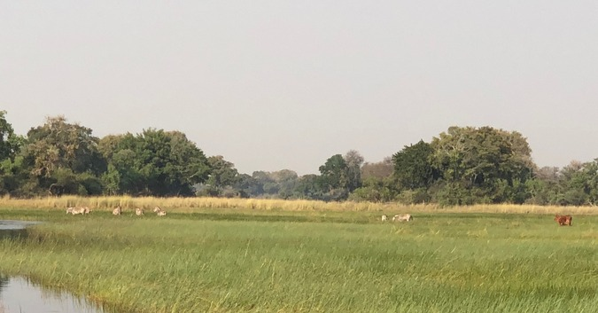 Zebras and cattle browsing in the same area in Botswana