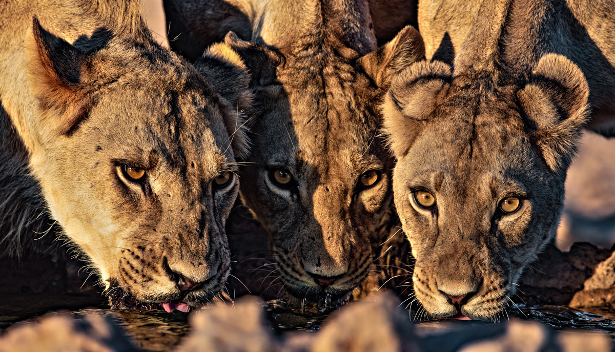 """Power drink"" – three lionesses drink at a waterhole in Kgalagadi Transfrontier Park, South Africa © Ernest Porter"