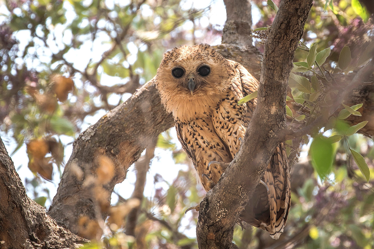 A rare sighting during the day of the much sought-after Pell's fishing owl sitting in a treetop, Khwai, Botswana © Fred von Winckelmann