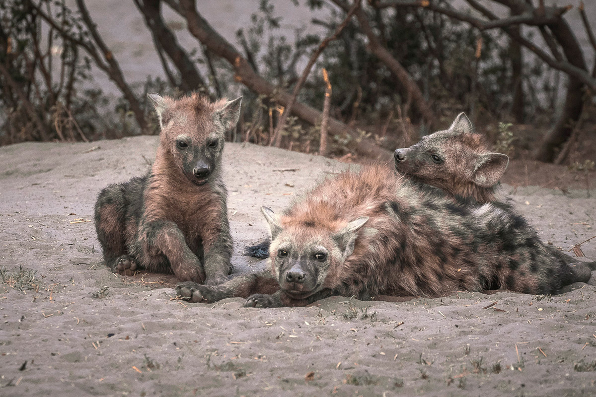 Hyena pups come out of their den at the end of the day in Savuti, Botswana © Fred von Winckelmann