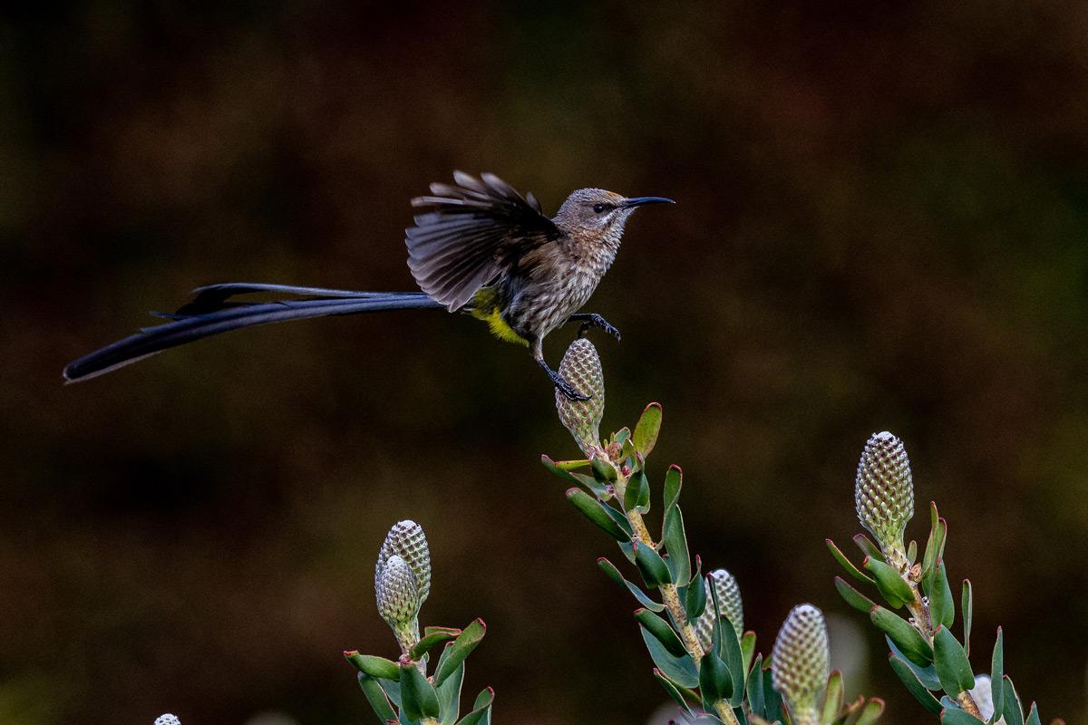 A juvenile Cape sugarbird lands on a pincushion flower bud on a farm near Stellenbosch, South Africa © Gerald Knight