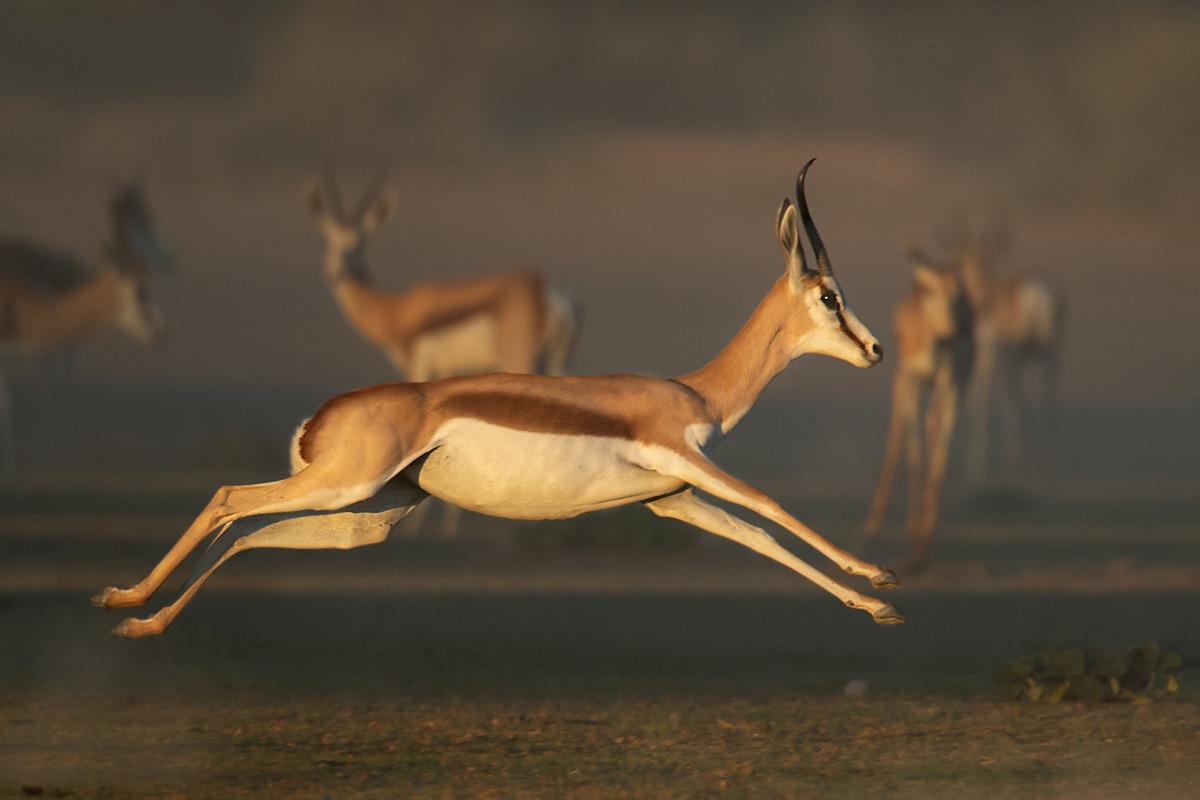 A leaping springbok in Kgalagadi Transfrontier Park, South Africa © Professor Gert Lamprecht