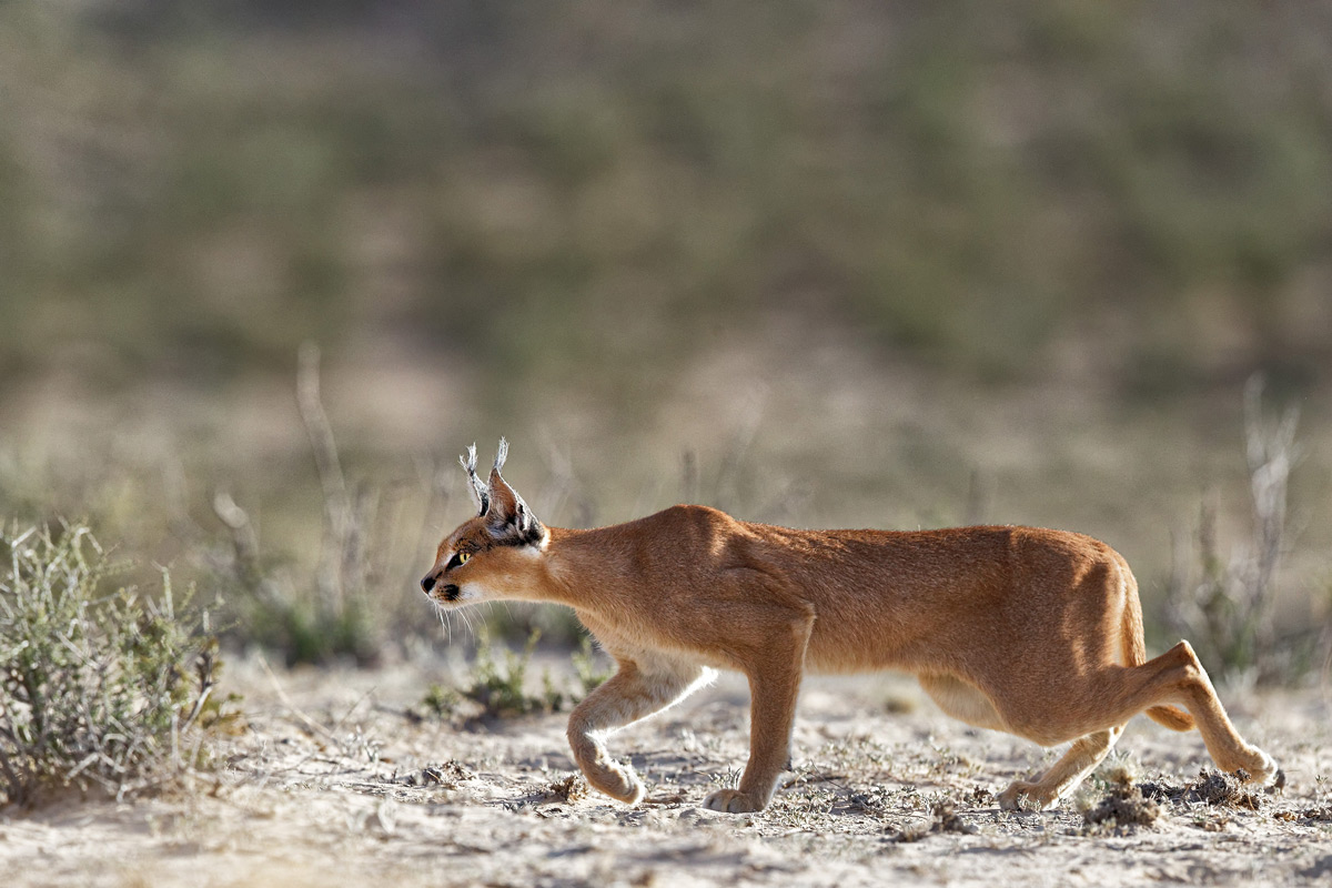 A caracal silently stalks potential prey in Kgalagadi Transfrontier Park, South Africa © Giovanni Frescura