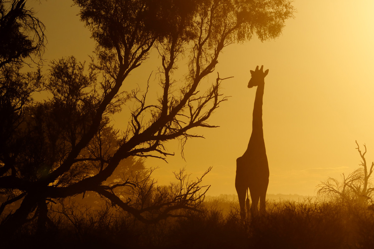 Dust and filtered sunlight make for a dramatic image of a giraffe in Kgalagadi Transfrontier Park, South Africa © Giovanni Frescura