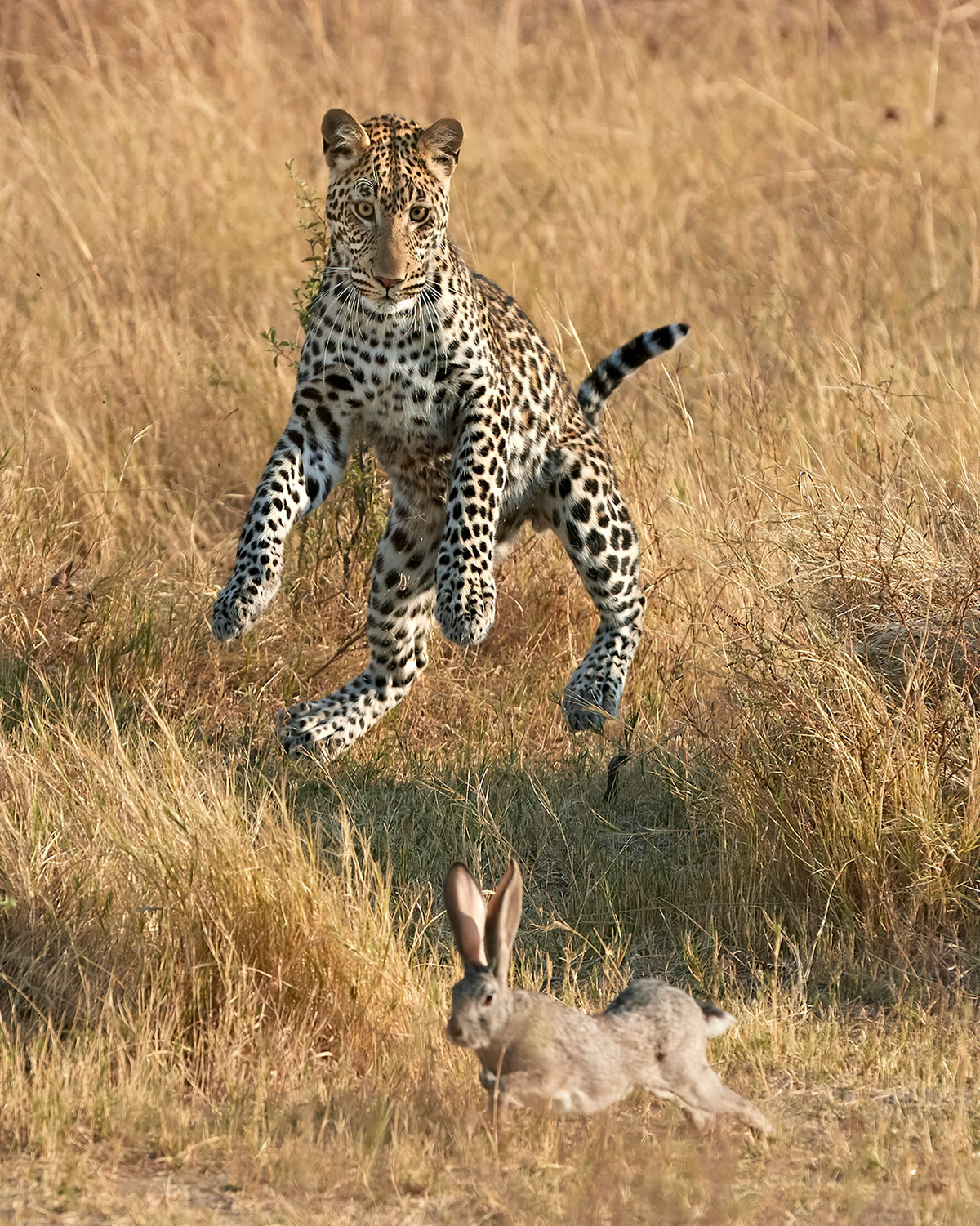 A leopard leaps at the chance to catch a scrub hare in Khwai, Botswana© Giovanni Frescura