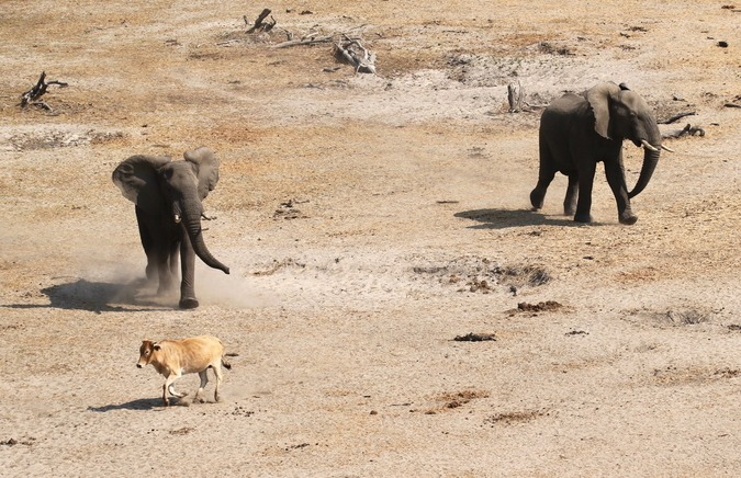 An elephant chases a cow near the Boteti River