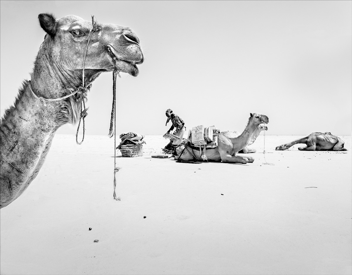 An Afar salt miner loading his camel in the unbearable heat of the Danakil Depression, Ethiopia © Hesté de Beer
