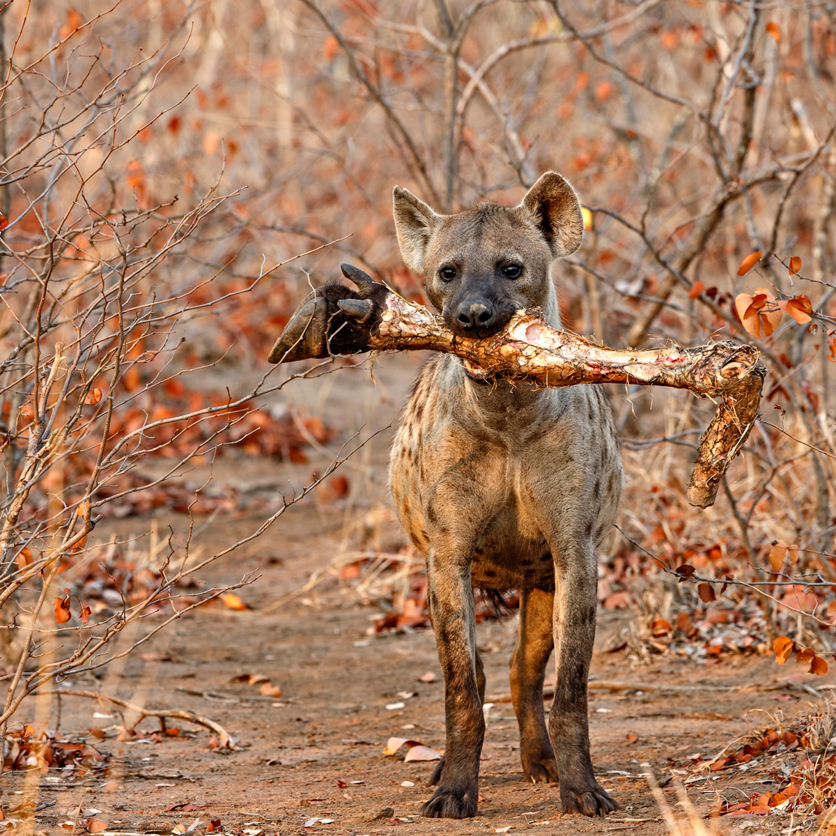 A spotted hyena and his prize in Kruger National Park, South Africa © Hilda le Roux