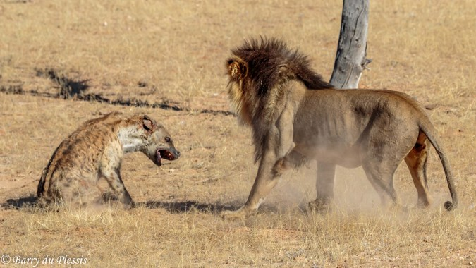 Injured hyena with lion following it