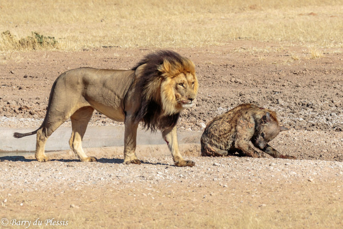 Lion walking away from mortally injured spotted hyena