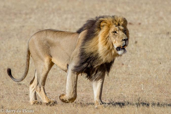 Lion in Kgalagadi