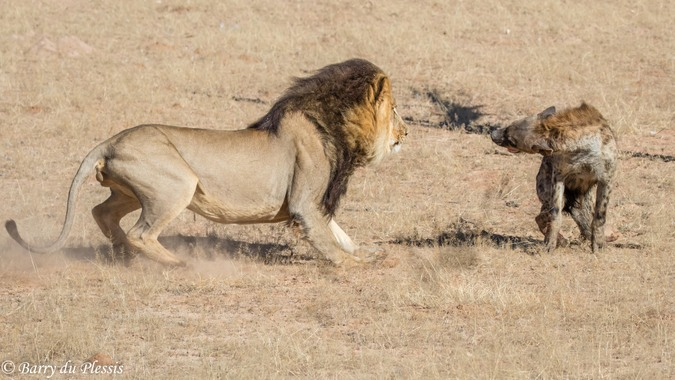Lion and spotted hyena facing off