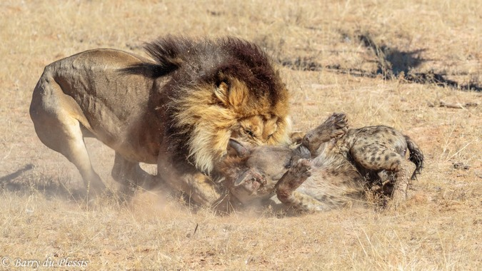 Lion attacking spotted hyena