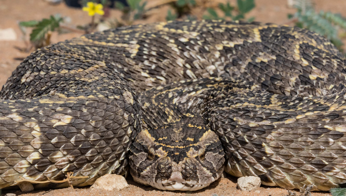 """Coiled"" – a puff adder coils up after being rescued from a restroom and released safely back into the wild in Kgalagadi Transfrontier Park, South Africa © Karen Blackwood"