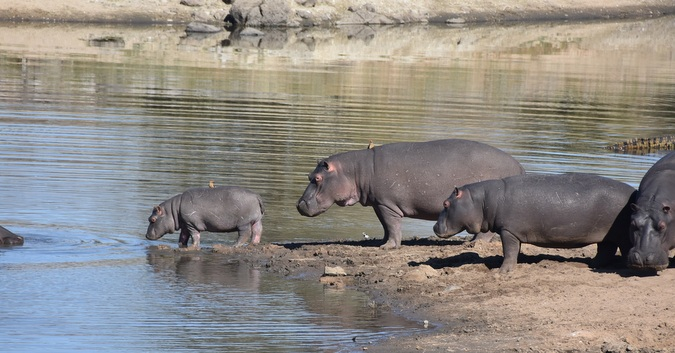 Hippo pod with baby at waterhole