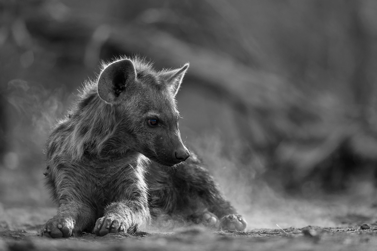 A young spotted hyena goes down to rest, stirring the dust in Tuli Game Reserve, Botswana © Lennart Hessel