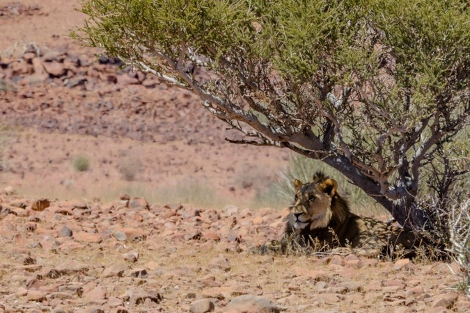 Desert-adapted lion in Namibia