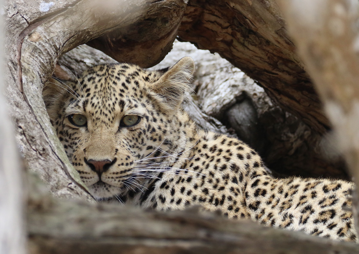 A leopard relaxing in the branches of a fallen tree in Kruger National Park, South Africa © Marijke Claassen