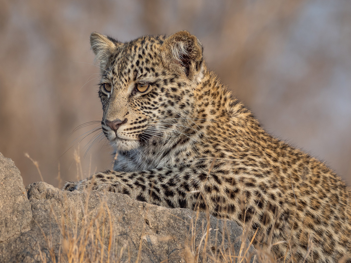 A young leopard seen in Sabi Sands Private Game Reserve, South Africa © Michael Raddall