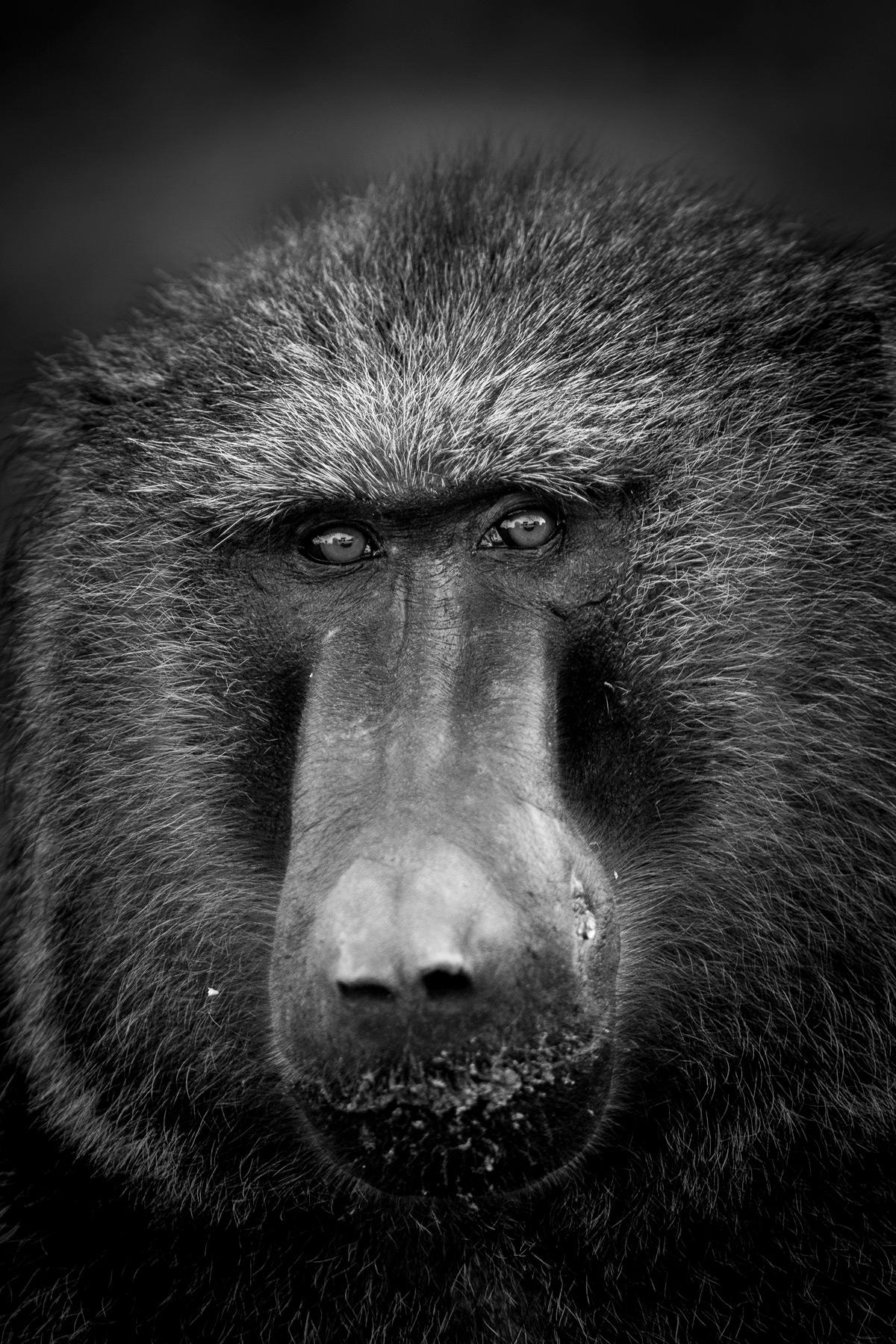 Portrait of a baboon, Maasai Mara National Reserve, Kenya © Patrice Quillard