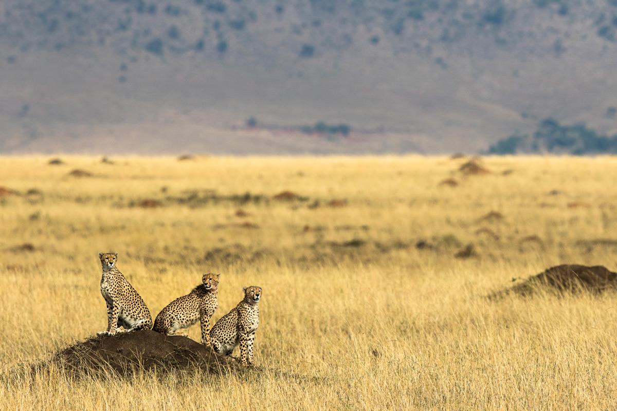 Three cheetahs sit on a termite mound in Maasai Mara National Reserve, Kenya © Patrice Quillard
