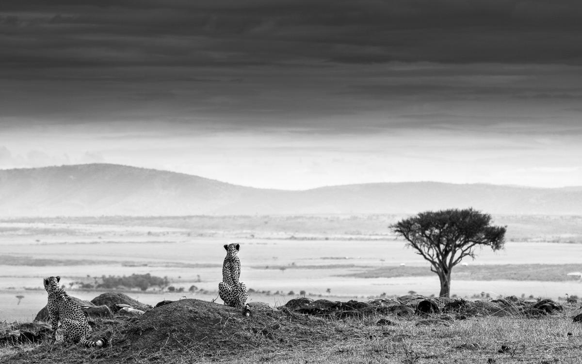 Cheetahs on the lookout in Maasai Mara National Reserve, Kenya © Patrice Quillard