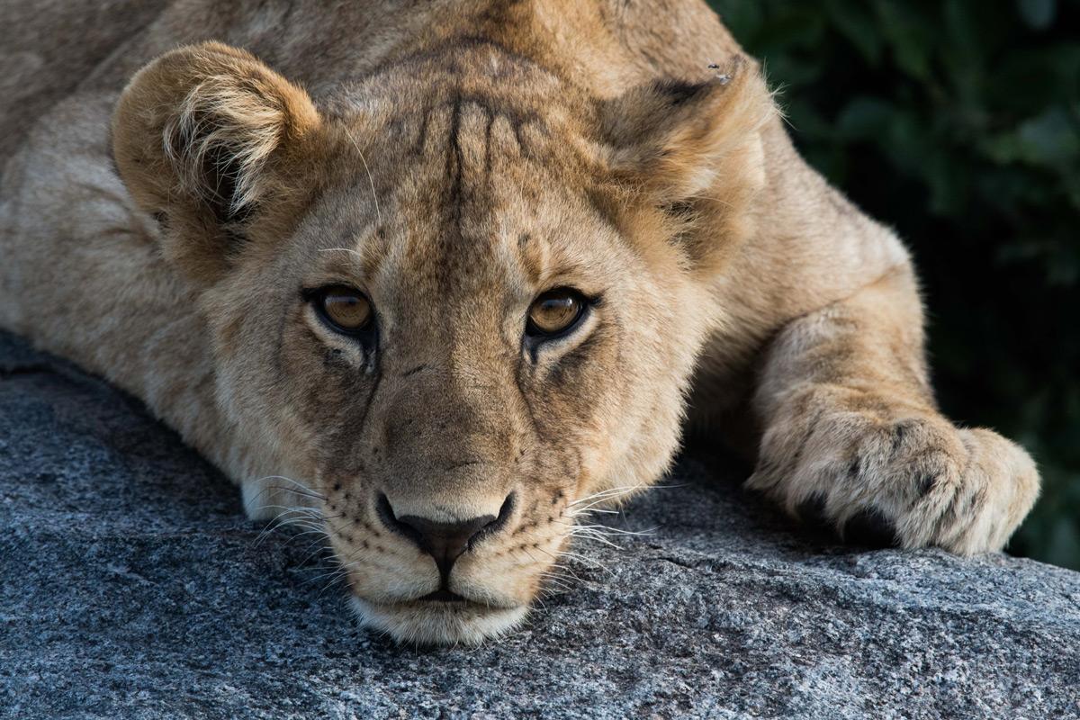 A lion cub rests on a kopje in Serengeti National Park, Tanzania © Paul Wild