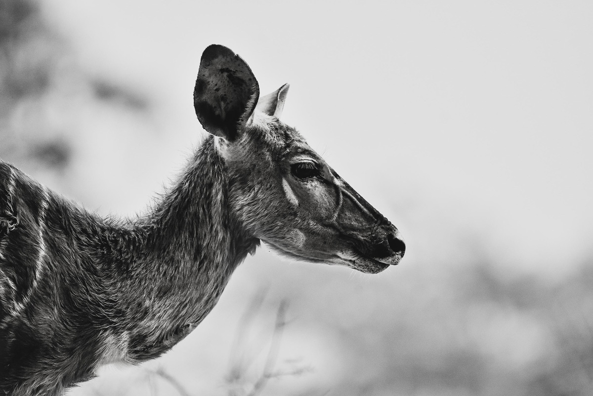 A relaxed, but ever wary female nyala in Motlala Game Reserve, South Africa © Sarah Curtis